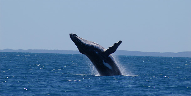 Hervey Bay Accommodation - Whale Watching